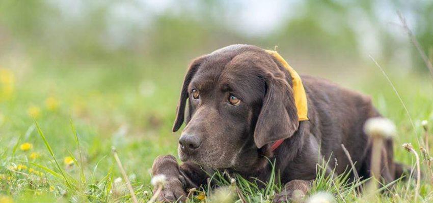 labradorka Daisy v péči PNP