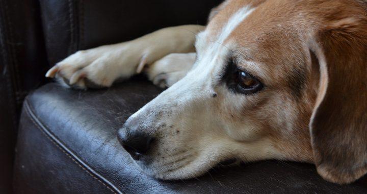 bojácný pes leží na gauči