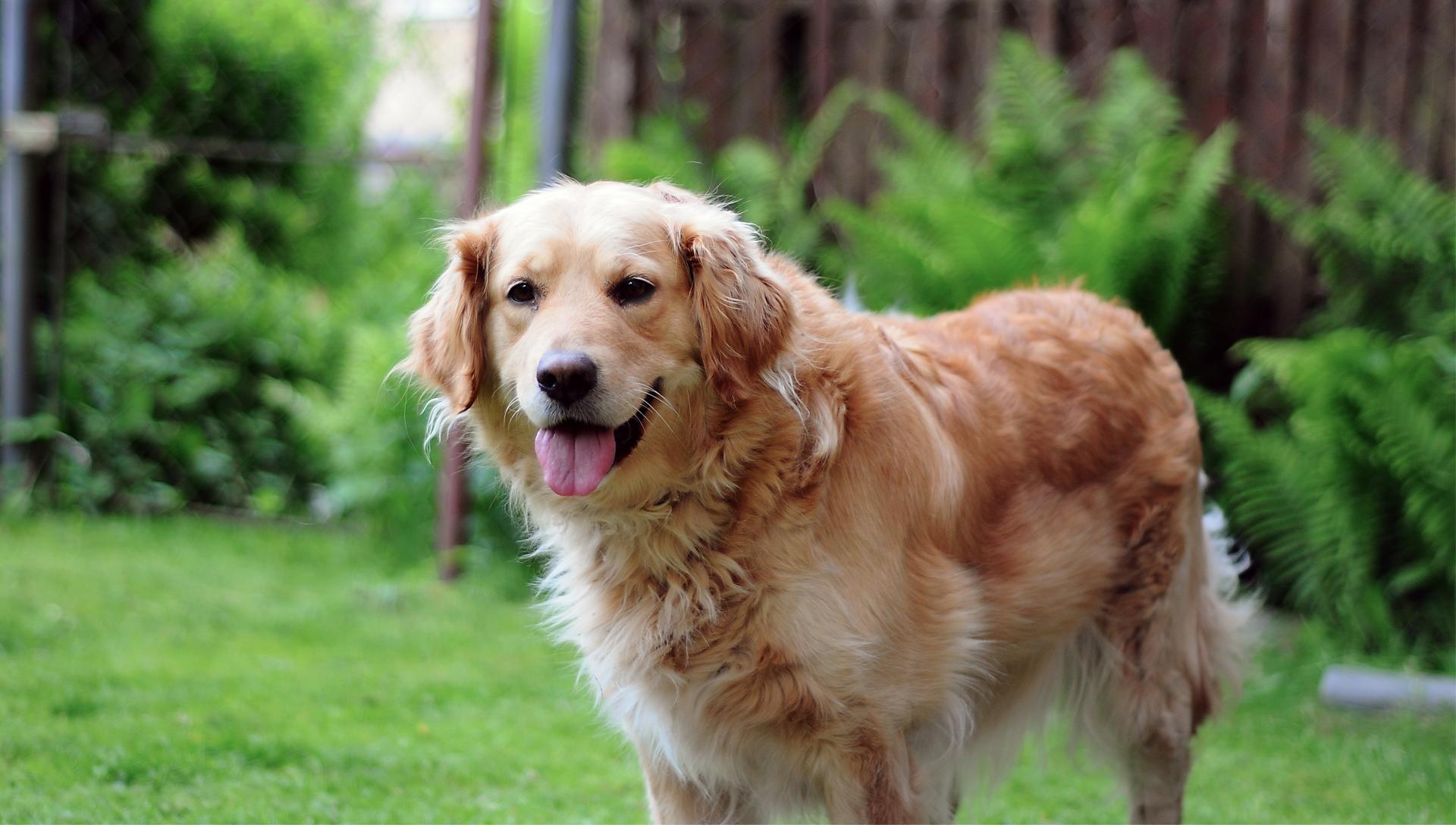 šťastný starý pes