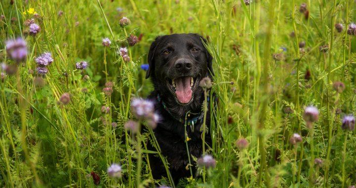 pes na rozkvetlé louce