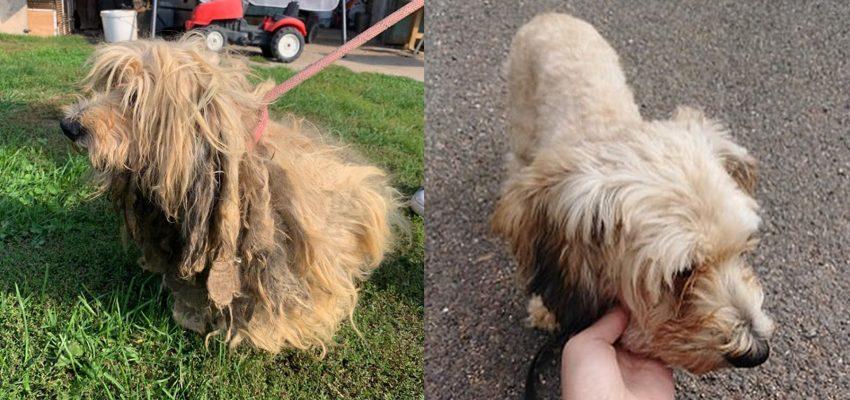 pes Sam před ostříháním a po ostříhání