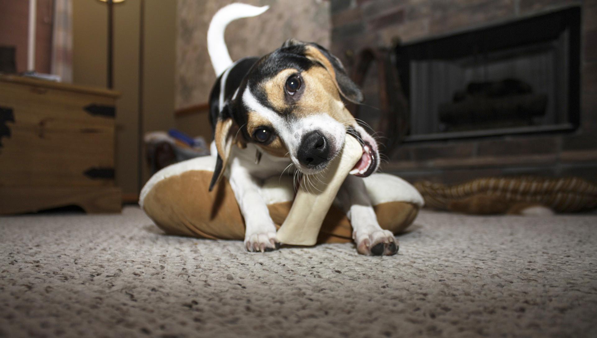 pes doma žvýká kost