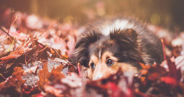 pes ležící v podzimních listech