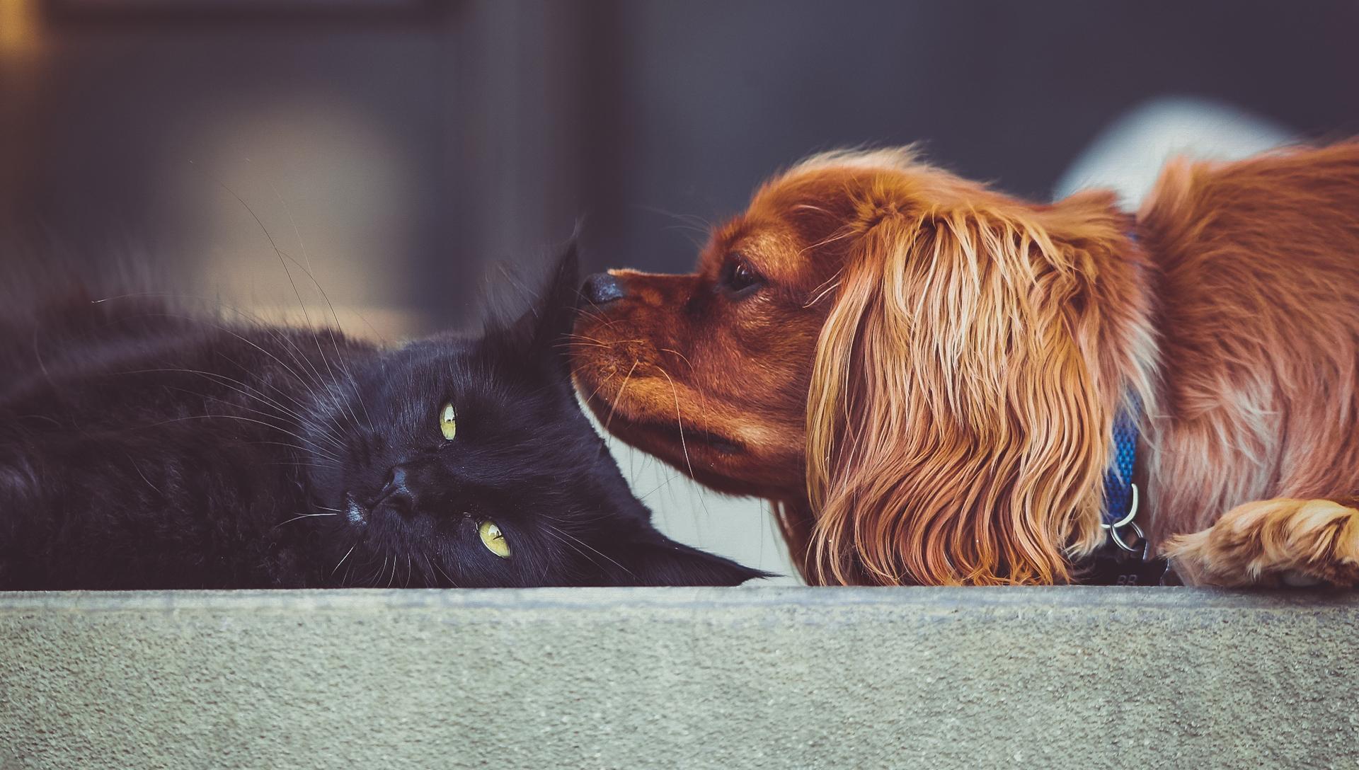 pes očuchává ležící kočku