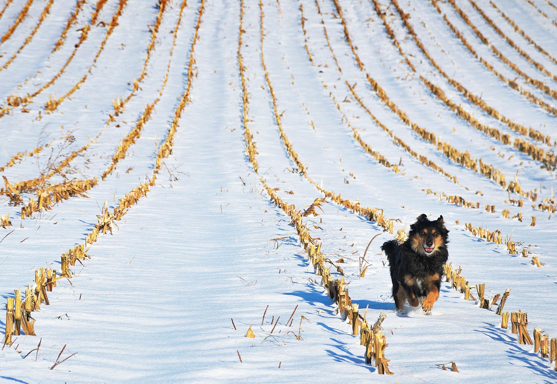 pes v zime