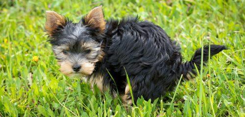 štěně kadí do trávy