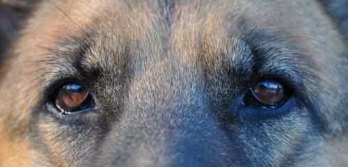 psí oči