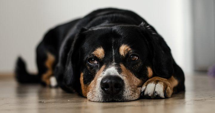 smutný pes leží na podlaze