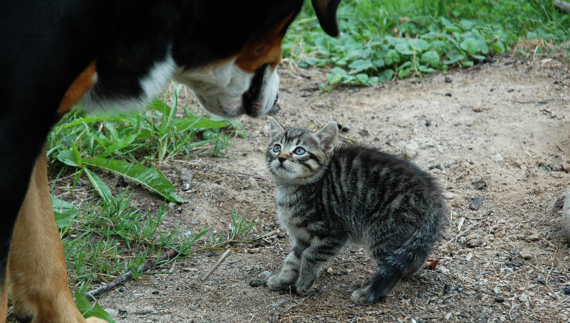 velký pes se dívá na kotě