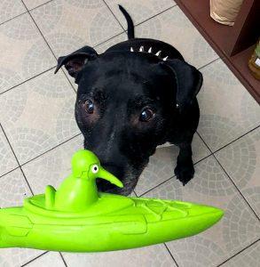 pes kouká na latexovou hračku
