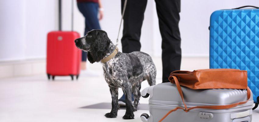 pes na vodítku na letišti